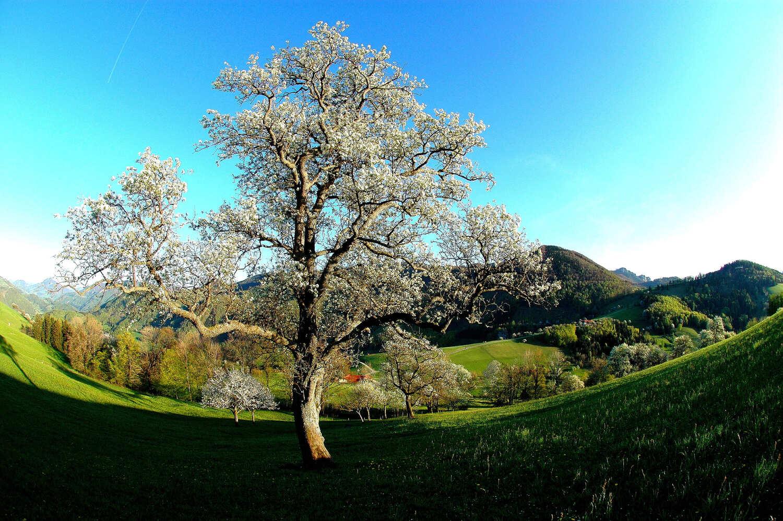 Baumblüte © TVB Steyr
