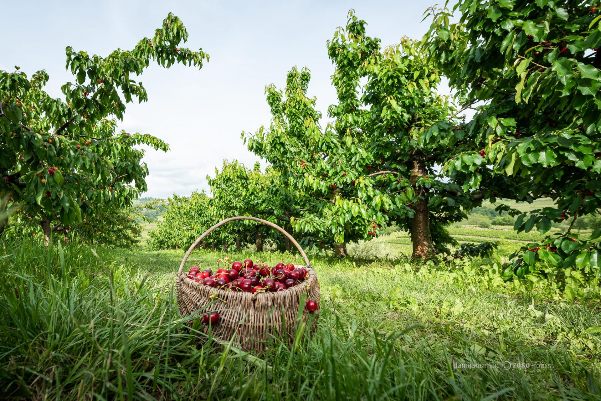 Kirschen im Korb © zoso fotos